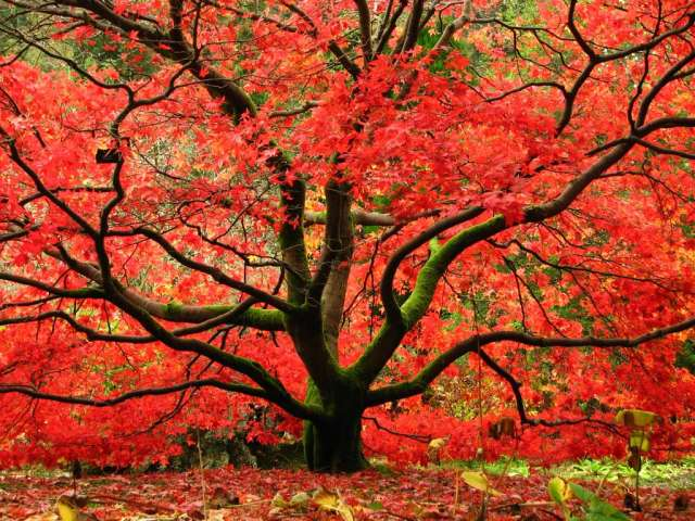 A maple tree in Autumn when the leaves change color to bright red and orange.