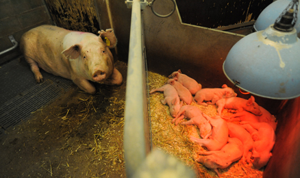 A sow separated from her piglets. Sows are impregnated and give birth up to eight times before being sent to slaughter. Sweden. Jo-Anne McArthur / WeAnimals.org