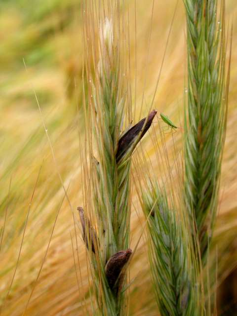 Green and gold stalks of rye infected with ergot.