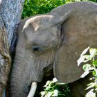 "Mashatu Elephant leaning against a tree ""in prayer"""