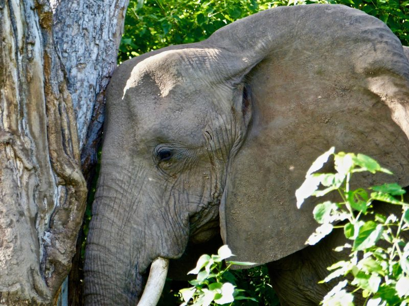 "Mashatu Elephant leaning against a tree ""in prayer"""