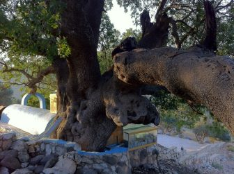 A very old pistachio tree growing next to Rabbi Tarfon's tomb.